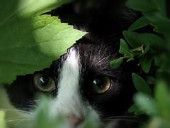 HERO! - Playing hide and seek - Noor series (Ageeth van Geest) Tags: uniflona smileonsaturday 7dwf green hideandseek garden animal poes kat noor cat