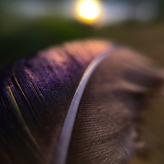 Fly (Mellisapix) Tags: colourful flight fly feather sunshine sunset