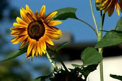 Girasole (Leandro.C) Tags: girasole fiore giallo colore pianta leandroceruti