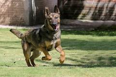 33922234_1854114131306429_737611176539586560_o (hector.frappe) Tags: perro compañero pastor belga