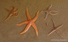 starfish (patrickcolhoun) Tags: beach nature wildlife closeup donegal ireland countydonegal buncranabeach buncrana starfish inishowen ulster