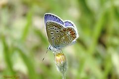 Argus bleu mâle   (1) (Ezzo33) Tags: france gironde nouvelleaquitaine bordeaux ezzo33 nammour ezzat sony rx10m3 parc jardin papillon papillons butterfly butterflies specanimal argus bleu ou azuré commun polyommatus icarus