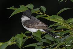 Eastern Kingbird (jt893x) Tags: 150600mm bird breeding d500 easternkingbird flycatcher jt893x kingbird nikon nikond500 sigma sigma150600mmf563dgoshsms tyrannustyrannus coth coth5 sunrays5