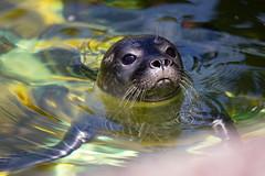 Seehund // Seal (DrTeNFeet) Tags: robbe zoo berlin green grün wasser water meer sea canon 5d mark iv seehund nature natur zoologischer garten moabit