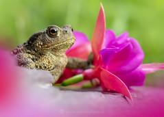 Fuschia Toad 13th August (Gavin Vella) Tags: toad common uk toads ukamphibians amphibian ukwildlife ukflowers britishwildlife wildlife nature naturephotography canon7dmkii canon macro macrolens macrophotography