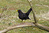 IMGP0242c Blackbird, RSPB Sandy, March 2018 (bobchappell55) Tags: sandy rspb wild bird nature wildlife blackbird turdusmerula