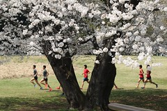 Athletes under Cherry Blossom (seiji2012) Tags: 三鷹市 野川公園 ランナー 桜 サクラ runner park mitaka nogawa