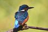 Martin pescatore _050 jpg (Rolando CRINITI) Tags: martinpescatore uccelli uccello birds ornitologia castellapertole natura