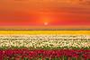 Tulip field (Lale Tarlası-Lalezar) (Talip Çetin) Tags: lale laleler lalezar bahçesi konya türklalesi tulip garden field rengarenk gökyüzü manzara günbatımı sunset sky landscape clouds kızıl güneş zambakgiller tulipa çiçek bitki doğa flower herb nature soğanı tanrı hindikuş pamir dağları devri kanuni sultan süleyman hollanda kralı 17181730 iii ahmet nevşehirli damat ibrahim paşa refik altınay yahya kemal anadolu anatolia turkey türkiye turkish turquie türkei turquía トルコ turchia турция 土耳其 تركيا टर्की индейка індичка τουρκία 터키 istanbul festivali festival festivity feast carnival