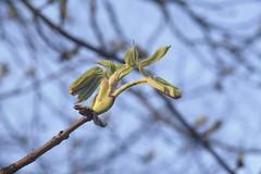 Die Knospen einer Rosskastanie (Aesculus hippocastanum) entfalten sich; Bergenhusen, Stapelholm (8) (Chironius) Tags: stapelholm bergenhusen schleswigholstein deutschland germany allemagne alemania germania германия niemcy gegenlicht frühling spring rosids malvids sapindales seifenbaumartige sapindaceae seifenbaumgewächse hippocastanoideae rosskastaniengewächse aesculus rosskastanie baum bäume tree trees arbre дерево árbol arbres деревья árboles albero árvore ağaç boom träd laub
