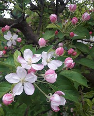 Apple flowers (Terraria) Tags: flowers petals white pink green leaves tree blooms bloom buds bud