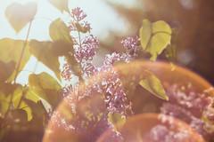 FlickrFriday #Flare (Inka56) Tags: flickrfriday lilac flare 7dwf helios444