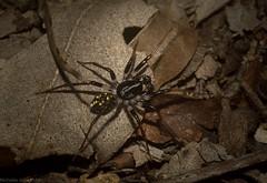 Habronestes (dustaway) Tags: arthropoda arachnida araneae araneomorphae zodariidae habronestes antspider australianspiders clagirabaforestreserve clagiraba coomeravalley sequeensland queensland australia
