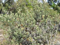 Banksia ornate 3 (barryaceae) Tags: australia