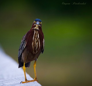 Wondering.... Green Heron �