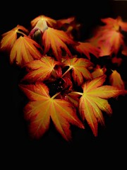 Leaves (Nige H (Thanks for 12m views)) Tags: nature flower plant macro onblack colour coloursofnature colourfulnature naturalbeauty