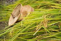 2018 ♡ PHOTO | ShanDraw 1070417 (asun5) Tags: shandraw photograph farmer pingtung taiwan itsmylife experience 台灣 農村生活 農村再生 體驗 小農夫 謝天儀式 土地公 稻田 2017 五月收割日 生態 ecology