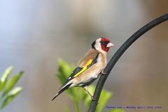 European Gold Finch......... (law_keven) Tags: europeangoldfinch birds bird catford london england photography wildlifephotography wildlife gardenbirds britishgardenbirds