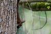 D50_8992.jpg (ManuelSilveira) Tags: mamiferos esquilo fauna
