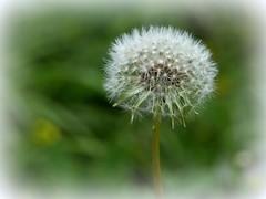 destinato alla calvizie :) (fotomie2009) Tags: seed head frutto semi flora tarassaco taraxacum wild nature wildflower spontaneo spontaneous