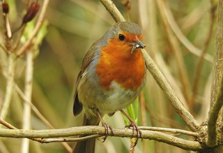 Robin with his breakfast