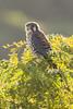 quiriquiri - falco spaverius ( macho ) (ricardo japur) Tags: wild nature fauna cerrado