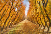 The Fruit Orchards Of Cromwell || SOUTH ISLAND || NZ (rhyspope) Tags: nz new zealand cromwell queenstown autumn fall foliage fruit orchard tree lines yellow orange red rhys popr hyspope canon 5d mkii repetition travel south island kiwi color colour