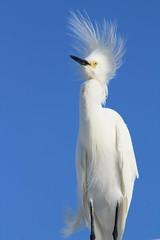 IMG_7951 (Usagi93190) Tags: beach bird egret snowy fort desoto florida st pete outdoors nature wildlife