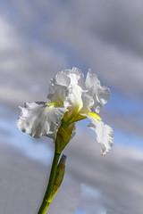 Skyward_MG_0062-2 (918monty) Tags: iris whiteiris whiteflowers composition canon