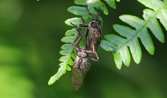 Mating Flies 160718  (2) (Richard Collier - Wildlife and Travel Photography) Tags: naturalhistory insects fly macro closeup