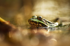 Common Water Frog (Rana esculenta) (Stefan Zwi.) Tags: macro frog challengenatur nature bokeh licht light natur teichfrosch ranaesculenta commonwaterfrog 7dwf fauna