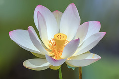 Stare Deep into the World (12bluros) Tags: lotusflower lotus flower floral flora plant aquaticplant water canonef100mmf28lmacroisusm