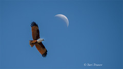 Fly me to the moon (Yuris.photos) Tags: australia animal birdofprey bird brisbane sky moon