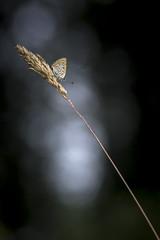 To the dark (Mathieu Calvet) Tags: pentax k3 pentaxart justpentax pentaxkpark midipyrénées occitanie bokeh blured macro proxy nature papillon butterfly wild