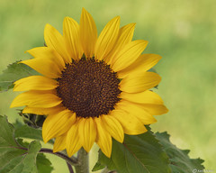Sunflower (Ken Mickel) Tags: beautiful colors floral flower flowers flowersplants kenmickelphotography plants sunflowers yellow blossom blossoms botanical closeup nature photography
