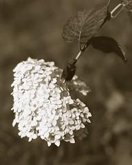 img129 (Bukin83) Tags: 4x5 large format delta100 ilford perceptol russia moscow flowers macro fujinoncmw 21056