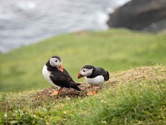 Mykines twins (fentonphotography) Tags: faroeislands boat fo puffin birds two fauna greengrass mykinesisland wildlife wildanimal