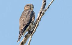 More Time with the Merlin Family... (Greggor58) Tags: flight merlin nature falcon wildlife sky ontario easternontario canada
