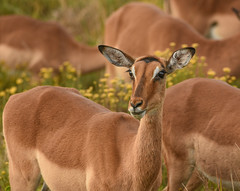Impala (Aubrey Stoll) Tags: impala antelope kruger national park south africa prey predation animal outdoor safari travel wildlife female nature