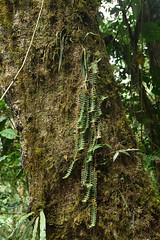 Epidendrum parkinsonianum and Dichaea sp (D. muricatoides ?) (Encyclia83) Tags: chiapas mexico cloudforest epidendrum parkinsonianum dichaea