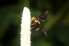 Diptera, Syrphidae, Baccha sp. M (Hoverfly) - Kibale, Uganda (Nick Dean1) Tags: animalia arthropoda arthropod hexapoda hexapod insect insecta diptera kibale uganda kibalenationalpark fly