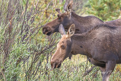 Moose cow and bull