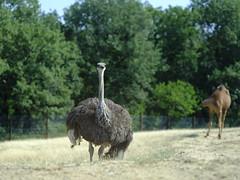Ostrich Autruche (cosbrandt) Tags: gfx50s gf110mm ostrich safari vaucluse