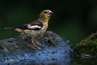 Hawfinch (Coccothraustes coccothraustes)!
