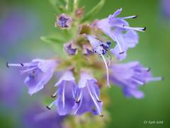 Ysop-Blüten (Brenda-Gaudi) Tags: sommer botanik pflanzen ysop kräuter blüte blumen garten
