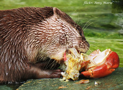 otter (Amy Spooner) Tags: norfolk norwich nature zoo wild crab eat england uk water wet