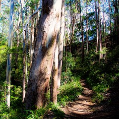 The Pathway - Aiea Loop Trail - Image 884 S (Dan Davila) Tags: aiea hiking hike trail trees tree foliage forest sky clouds flora plants plant oahu hawaii outdoor wood woods soil grass tropical floral tropic