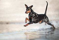 walking on water (mona_hoehler) Tags: dog dogs pet animal dobermann water sea beach lake rhein summer walk action running splash fun model shooting nikon tamron
