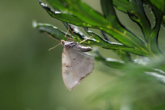 Ööliblikas (Jaan Keinaste) Tags: pentax k3 pentaxk3 eesti estonia elusloodus fauna liblikas butterfly ööliblikas moth jupiter37a