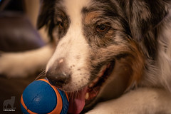 ChuckIt Up Close and Personal (Jasper's Human) Tags: aussie australianshepherd dog ball chuckit sly taunt